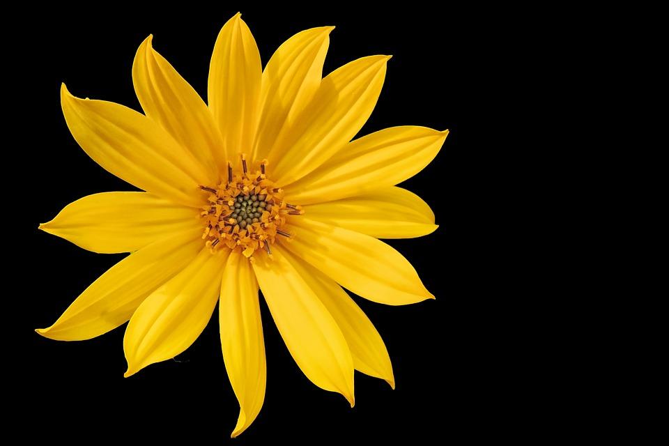 krásný květ topinamburu