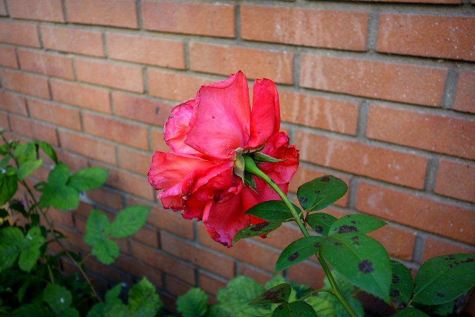 růže u zdi